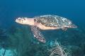 Turtle swimming over shark reef