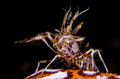 Tiger Shrimp@Lembeh Strait