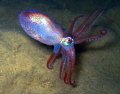 a squid in dark swedich waters