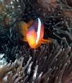Black Anemone fish taken with a Sealife DC1200 with Fisheye lens and twin Sea&Sea strobes on 1/4 power