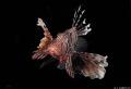 A lion fish