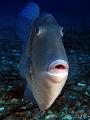Mediterranean triggerfish (balistes carolinensis)