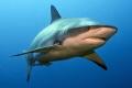 Female Caribbean Reef shark - Cara a Cara, Roatan, Honduras