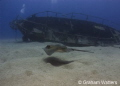 Stingray swimming by a wreck in Tenerife