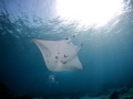 Snorkeling with manta ray. Sangalaki island.