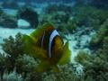 Inquisitive Clown Fish