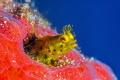 Secretary blenny in sponge.  Nice eye lashes!  Nikon 105 mm and SubSea 5X diopter.