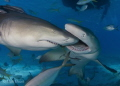 These Lemon Sharks Were Competing Over Who Got To Be In This Picture.