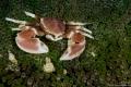 Porcelain Anemone Crab (Neopetrolisthes ohshimai)