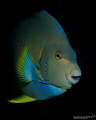 Blue Angelfish swimming out in the blue, hiding before for current and surge