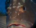 Very friendly grouper in the Dry Tortugas. Taken with Canon 7D, 60mm lens, f18, 1/100.