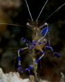 Cleaner shrimp--open for business.