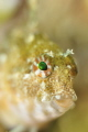 Little Blenny