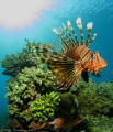 Lionfish displaying spines checking out his reflection in my dome port, with a sunburst in the back ground