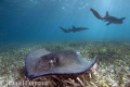sting ray with nurse shark backround