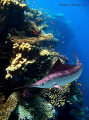 Marlin. The picture is made on the suburb of the reserve of Ras Mohammed in April 2008. under the following circumstances: waiting the turn on immersion, we with the spouse decided to swim for a while along a reef simply with a mask. Having sailed f