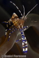 Spotted cleaner shrimp chilling out