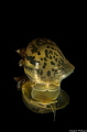 Eared pond snail