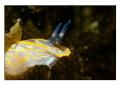 Nudibranche