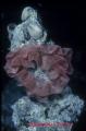 Nudibranch egg masses