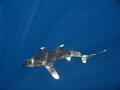 Oceanic White Tip in the sunlit blue