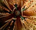 Echinothrix calamaris... Photo taken in Sipadan...