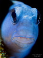 Blue Blenny with +10 SubSee wetdiopter and +2 Inon