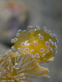 Janolus Cristatus