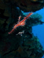 Ornate Ghost Pipefish mum and baby~