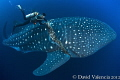 This divemaster frees a 35ft whale shark from a thick fishing line. He had to keep up in strong current at 100ft. and peel the line from the skin after cutting the line in half.