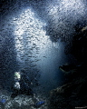 Diver immersed by silversides