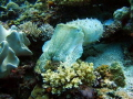 Most unusually coloured cuttlefish cruising through one of the most beautiful reefs on the planet