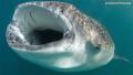 Whale shark...