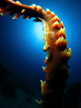 wire coral goby