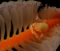 This sea pen is home to a porcelain crab that is feeding at night.