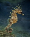 This seahorse has places to go and people to see.