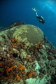 Diver swimming over a large brain coral
