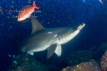Hammerhead Shark, Galapagos Ecuador