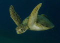 A Turtle . Picture taken in the Red Sea Egypt