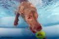 I know its been done... but its so much fun seeing dogs underwater!!! This is my sister in law's weimaraner in their pool!