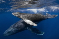 A humpback whale and her calf