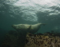 A seal scratches itself against a rock .