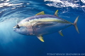 A Yellowfin Tuna was running from some false killer whales. The tuna was hiding under our arms and legs as the false killer whales swam circles around us.