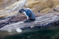 Pinguin with water, Galapagos Ecuador