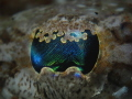 Crocodile Fish Eye