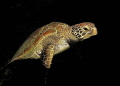 out of the dark - nightly encounter with a turtle