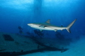 Shark and divers