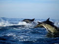 Three Common Dolphins during the Sardine run on the Natal South Coast