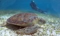 Turtle eating sea grass at HolChan Marine Park, San Pedro Diver in background.