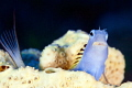 Blenny and a tail
